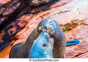 South American Sea lions relaxing on rocks of Ballestas...