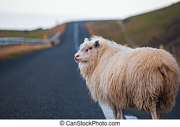 White sheep standing in the middle of a country road