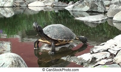 Turtle On A Rock In A Pond