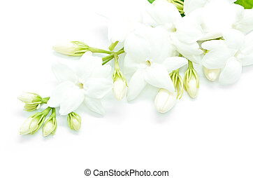 Jasmine - White Jasmine flower, isolated on a white...