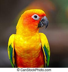 Sun Conure - Beautiful colorful parrot, Sun Conure (Aratinga...