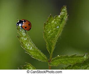 Ladybug on green leaf.