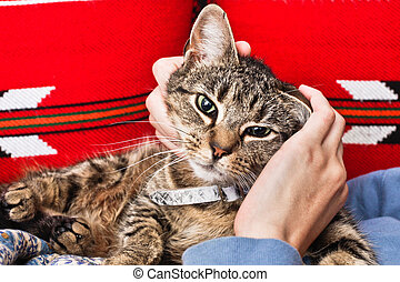 Stroking a cat - A tabby cat being stroked by a woman's...