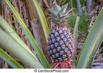 Pineapple growing on pineapple plant