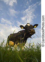 Dutch Cattle - A Typical Dutch cow in a meadow on a...