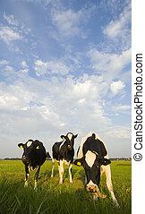Dutch Cattle