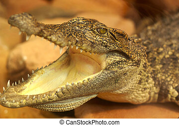Crocodile open mouth in a natural