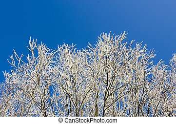 Hoarfrost - The white twigs of trees, covered by hoarfrost...
