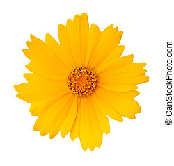 Cosmos Flower - Beautiful yellow Cosmos Flower isolated on...