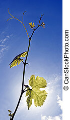 Grape Vine - Twigs of a grape vine, backlit by the sun on a...