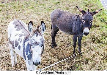 donkeys, Switzerland