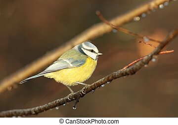 Blue tit Parus caeruleus on a twig in the autumn forest