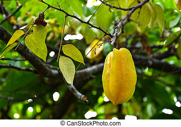 Growing starfruit - Starfruit on a tree at the japanese...