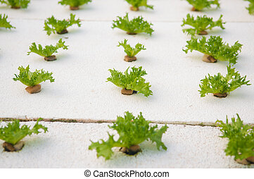 Organic Hydroponic vegetable farm