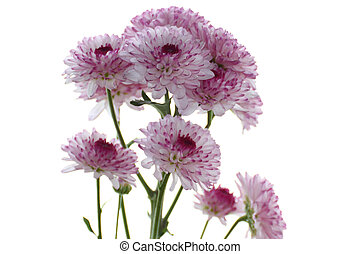 Purple Chrysanthemums branch isolated on a white background