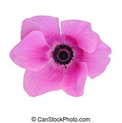 mona lisa pink blush flower isolated on white background