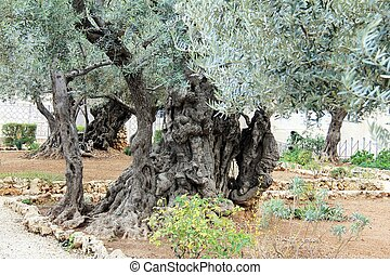 Very old olives in Gethsemane garden - A tree in the Garden...