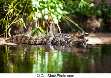 alligator, Kajman,  crocodilus, ung