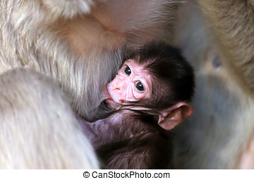 Portrait of small baby macaque - Mother monkey feeding her...