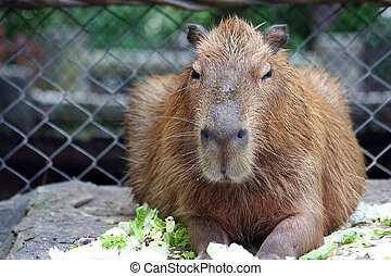 Capybara - A Big Rat - Thiss a Capybara from Khao Keaw zoo,...