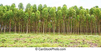 Eucalyptus fields, eucalyptus, eucalypti, eucalyptuses