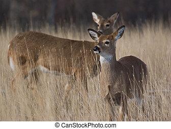 Wild Deer - Two wild deer standing in the grass in Colorado