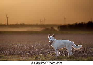 Loyal White Shepherd
