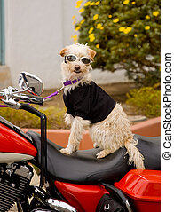 biker dog - Scruffy white terrier sitting on red Harley...