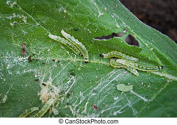 Caterpillar pests