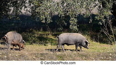 two Iberian pigs eating (panoramic view)