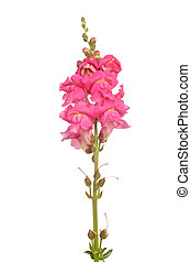 Single stem of pink shapdragon flowers isolated on white