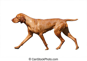 Hungarian Vizsla isolated with clipping path