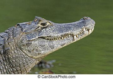 Kajman,  spectacled, Kajman,  crocodilus