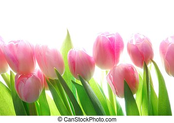 pink tulips - Close-up of bunch of colorful pink tulips on...