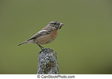 Stonechat, Saxicola torquata, single female on post,...