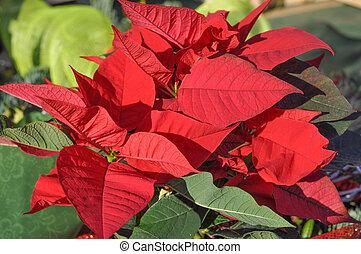Poinsettia Christmas star
