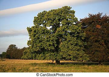 Sweet chestnut, Castanea sativa, tree in field...
