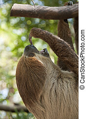 Two-toed sloth. - Two-toed sloth, Choloepus didactylus.
