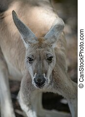 Australian Kangaroos - Australian big red kangaroo in open...