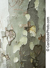 Love-scarred tree - A close up of the bark of a platan with...