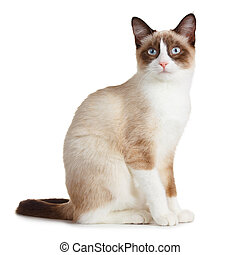 Snowshoe cat, isolated on white background