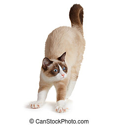 Cat stretching, isolated on white background