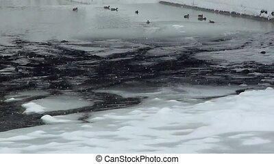 Winter season - Frozen river with ducks swimming in it