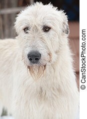 Nice Irish Wolfhound in winter garden - Nice Irish Wolfhound...
