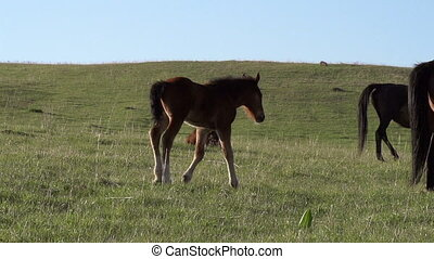 Colt Goes to Mom - Little foal is moving against the...