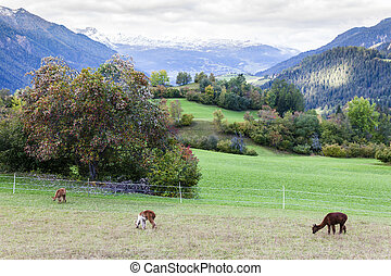 Alps landscape with alpacas near Filisur, canton Graubunden,...