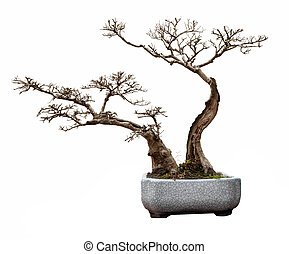 Bonsai - Small bonsai tree in a ceramic pot.