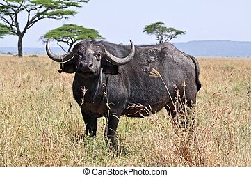 A big big buffalo of the Tanzanias national park