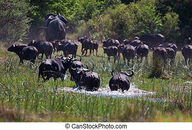 A big big buffalo of the Tanzanias national park