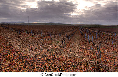 Grape vines in the Winter - Cropland of Vineyards in winter...